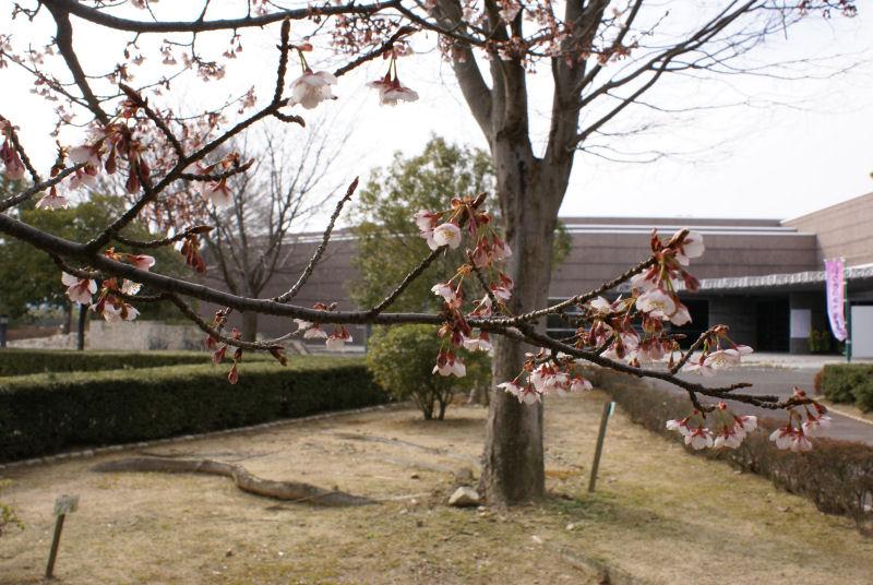 No 46 写真「斎宮の早咲き桜」