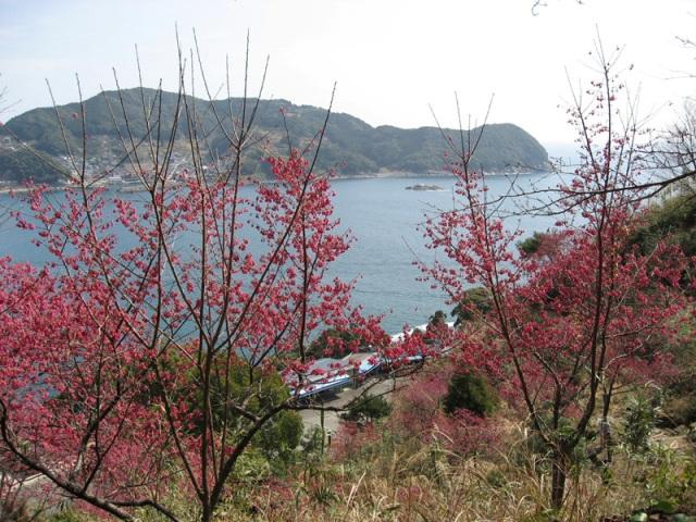 No 48 写真「寒緋桜」