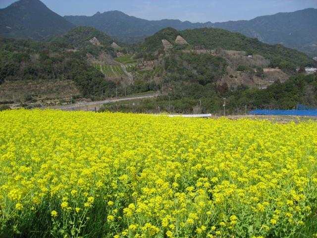 No 49 写真「菜の花畑」