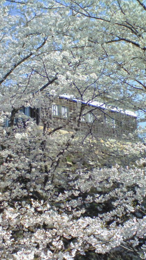 No 50 写真「桜咲く」