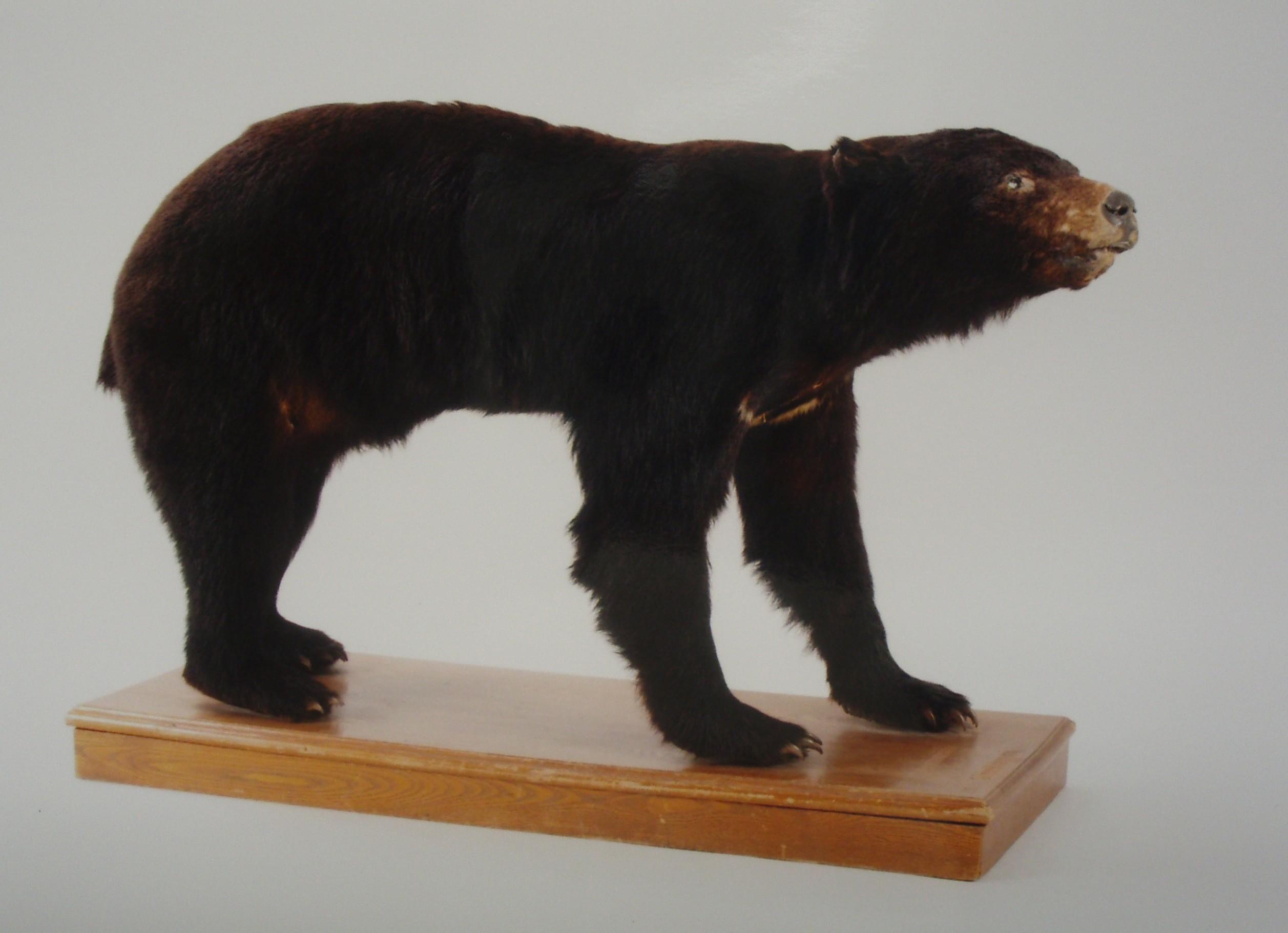 ツキノワグマの標本(県立博物館所蔵)