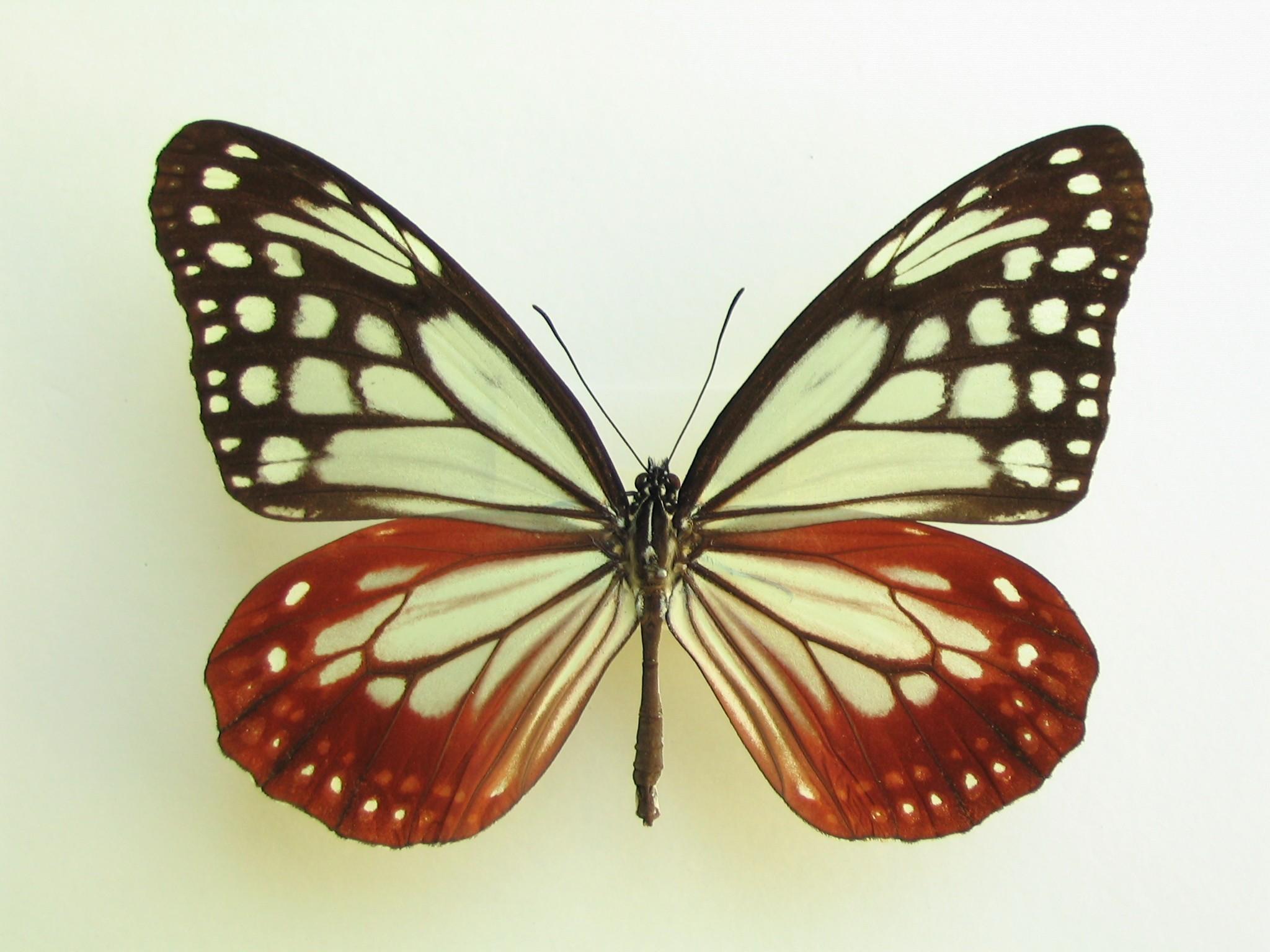 長距離の旅をする蝶 アサギマダラ