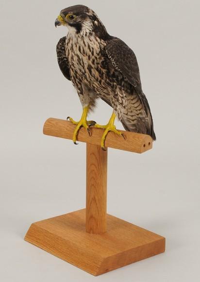 ハヤブサの標本(三重県立博物館所蔵)
